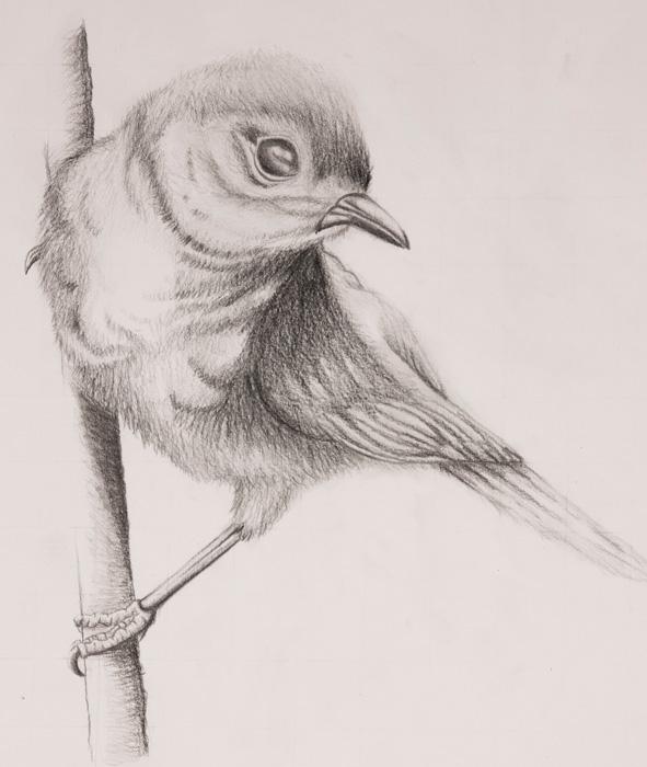 Pencil drawings of birds